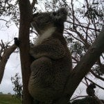 Koalas on the Great Ocean Walk