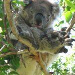 Great Ocean Walk Walk91 koala 2