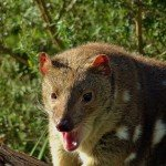 tiger-quoll-great-ocean-walk-walk91