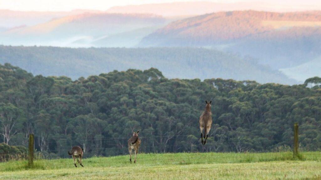 Kangaroos on the Great Ocean Wlak